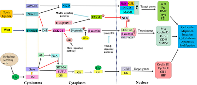 Wnt/β-catenin, Notch and Hedgehog signaling pathways and cross-talks in CSC cells.