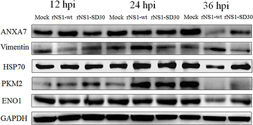 Western blots of representative proteins.