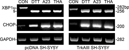 DTT, A23187 and thapsigargin activate the ER stress response.