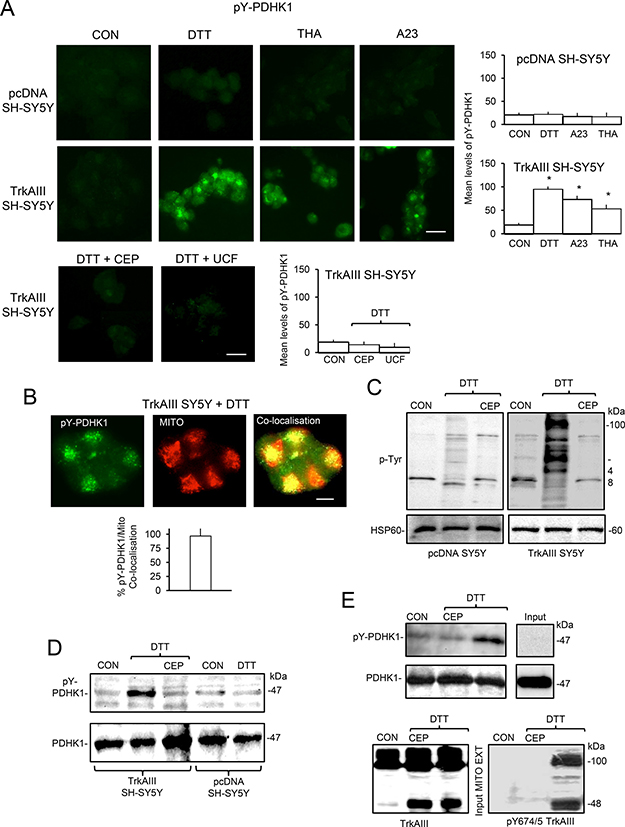 Mitochondrial TrkAIII phosphorylates PDHK1.
