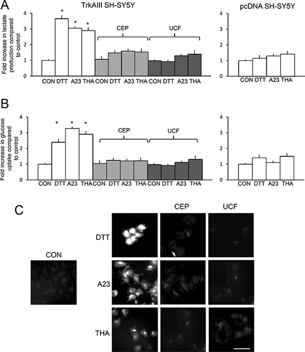 DTT, A23187 and thapsigargin promote aerobic glycolysis in TrkAIII SH-SY5Y cells.