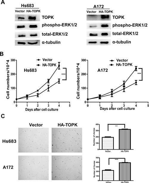 TOPK overexpression promotes tumorigenic properties ex vivo.