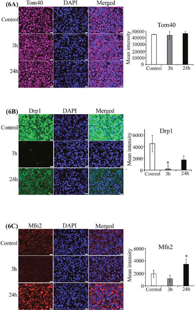 CA4P treatment does not disrupt mitochondrial function.