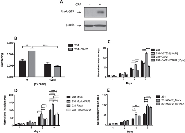 CAFs promote MDA-MB-231 invasion and scattering by activating RhoA/ROCK in cancer cells.