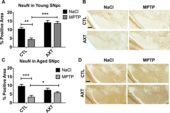 AXT enriched diet protects against neuron loss in the SNpc exposed MPTP.