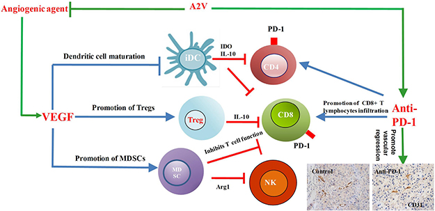 Combined inhibition of tumor angiogenesis and the immune checkpoint PD-1 regulated tumor microenvironment.