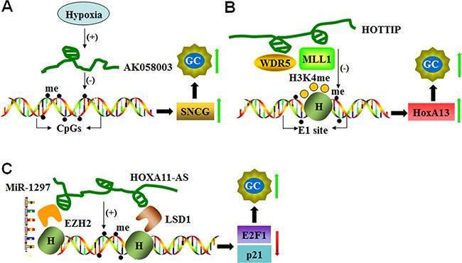 LncRNAs mediate DNA methylation of target genes.