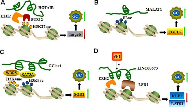 LncRNAs mediate histone modifications of target genes.