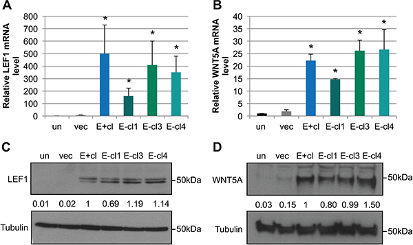 EBV-infected cells maintain increased LEF1 and WNT5A levels after loss of the viral genome.