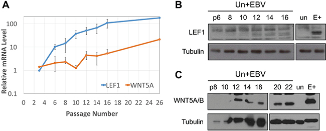 LEF1 and WNT5A upregulation are late events after EBV infection of keratinocytes.