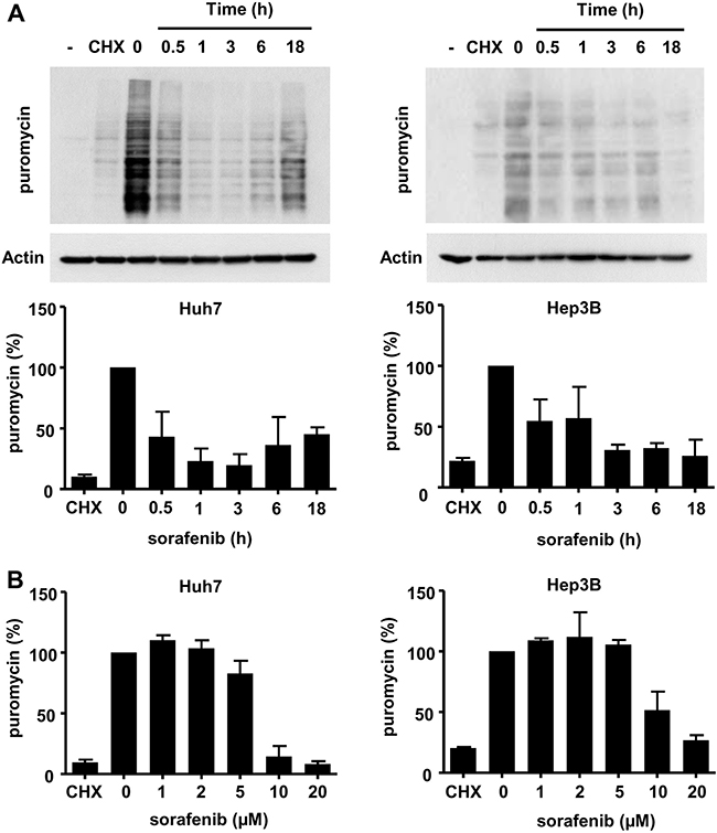 Sorafenib inhibits protein biosynthesis in HCC cell lines.
