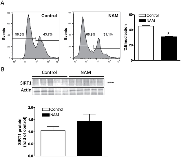 Effect of NAM treatment on SIRT1 expression and binucleation in the heart.