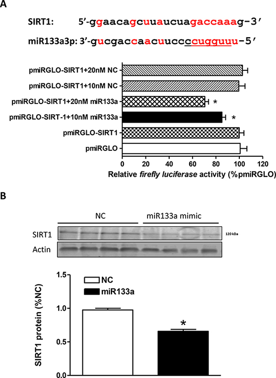 MiR133a binds to SIRT1 mRNA 3'UTR and inhibits SIRT1 protein expression.