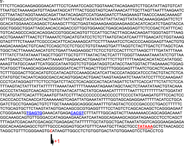 Sequences of rat miR1/133a gene bicistronic promoter.