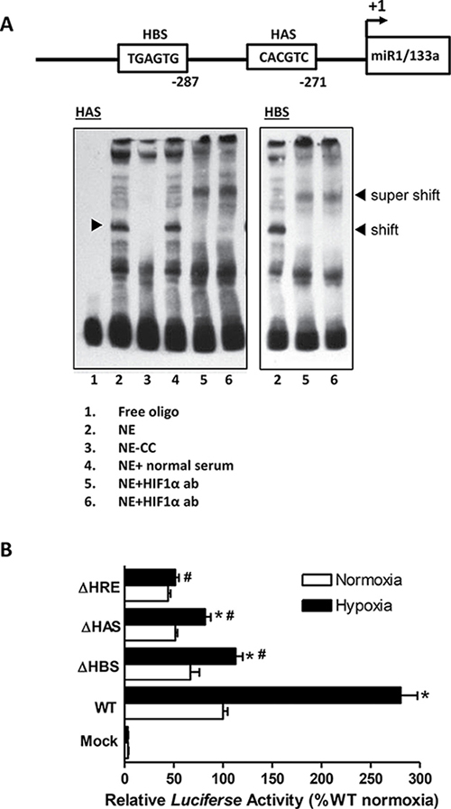 Identification and characterization of a unique HIF-1a binding site in the rat miR-1/133a bicistronic promoter.