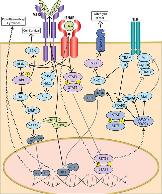 Schematic of TAM pathway signaling in innate immune cells.
