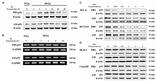 AM increases p53 expression when added before but not after irradiation by delaying p53 degradation but not inhibiting p53 transcription.