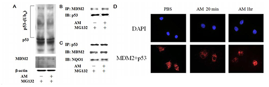 AM inhibits the interaction between MDM2 and p53 in the nucleus.