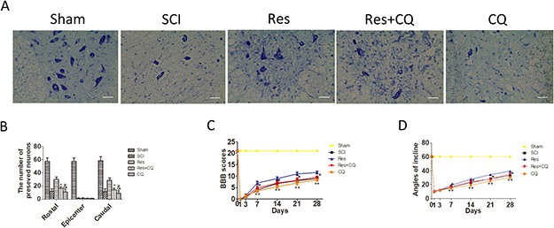 Figure 5; Blocking autophagic flux pathway abrogates the effect of preserving neurons and functional recovery mediated by resveratrol treatment after acute SCI in SD rats.