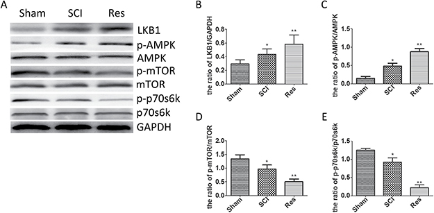 Resveratrol modulated the LKB1/AMPK/mTOR/p70s6k pathway after acute SCI.