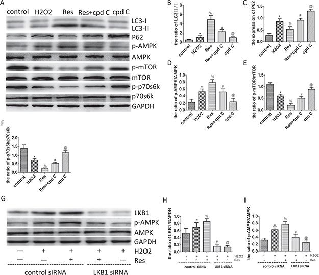 Resveratrol enhances autophagic flux via the LKB1/AMPK/mTOR/p70s6k pathway in PC12 cells.