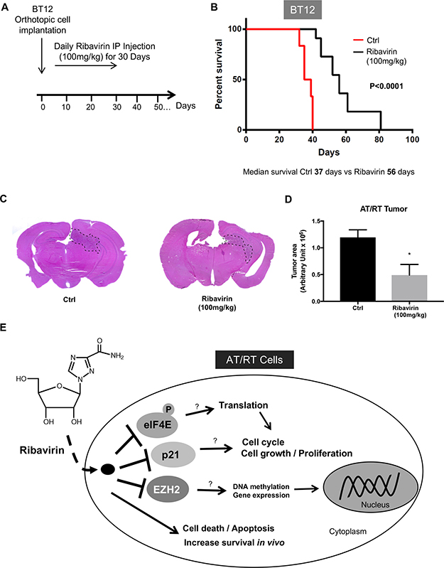 Increased survival of ribavirin-treated mice intracranially implanted with BT12 cells.