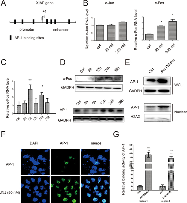 AP-1 mediates XIAP expression by JNJ in MCF7/ARD cells.