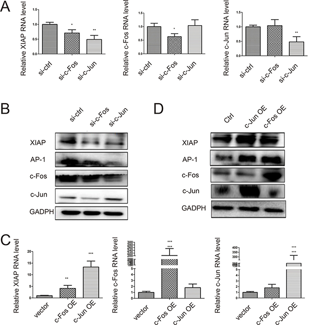 Activating AP-1 formation induces XIAP expression.