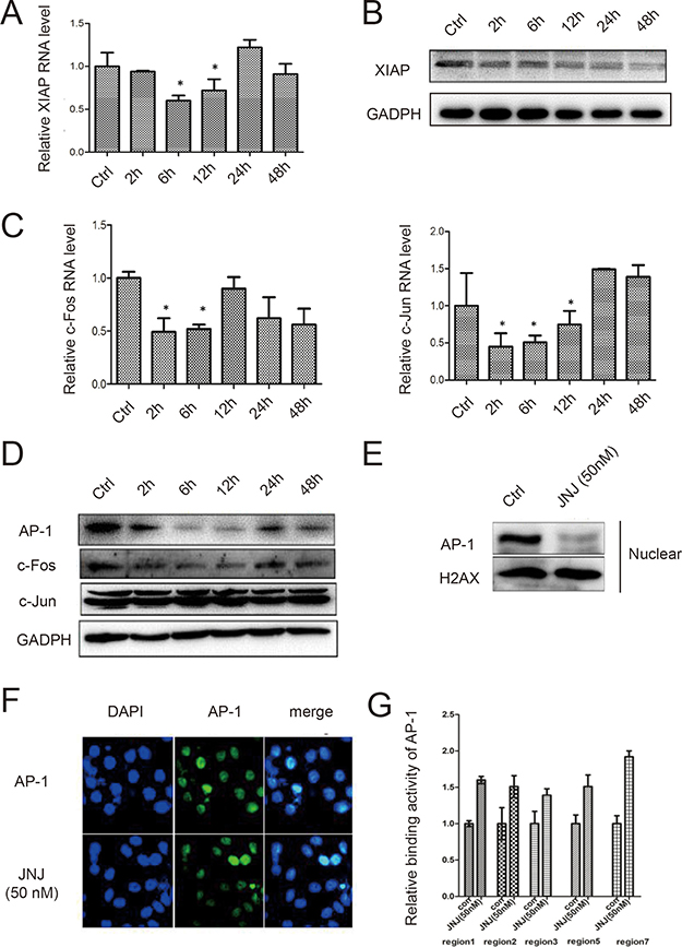 JNJ sensitizes naïve MCF7 cells by inhibiting AP-1 signal pathway and downregulated expression of XIAP.