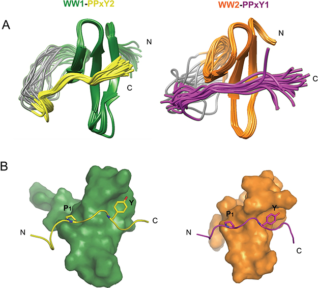 NMR structures of WW1-PPxY2 and WW2-PPxY1 complex.