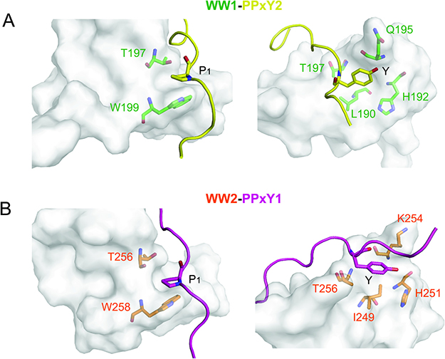 Interactions between WW domains and PPxY peptides.