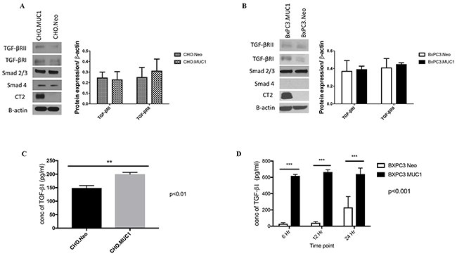 MUC1 overexpressing cells release significantly higher amounts of active TGF-β1 when compared to MUC1-low expressing cells.