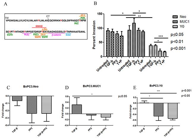 C-Src inhibition negates the aggressiveness of TGF-β mediated invasion in MUC1 expressing cells.