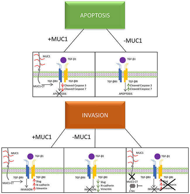 A schematic of the proposed mechanism of MUC1 mediating TGF-β signaling.
