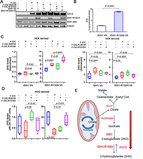 IDH1-R132H and mutant CIC coordinately regulate 2HG production