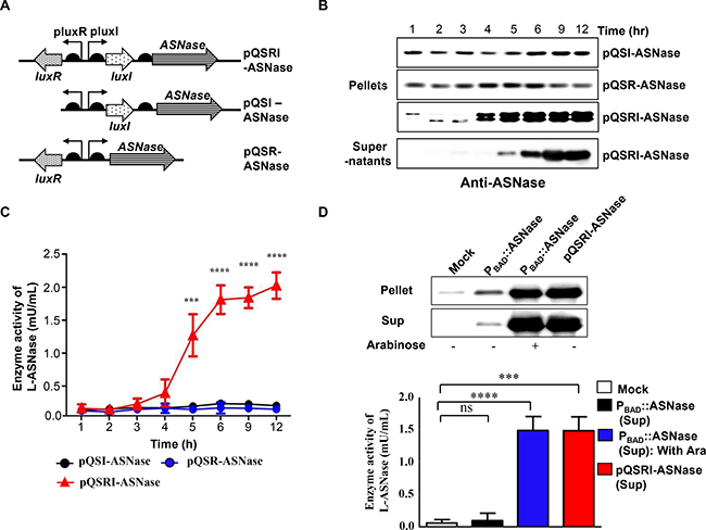 Expression of L-ASNase in ∆ppGpp Salmonella carrying pQSR-ASNase, pQSI-ASNase, or pQSRI-ASNase during growth in vitro.