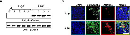 In situ expression of L-ASNase by quorum-sensing promoter in a mouse tumor model.