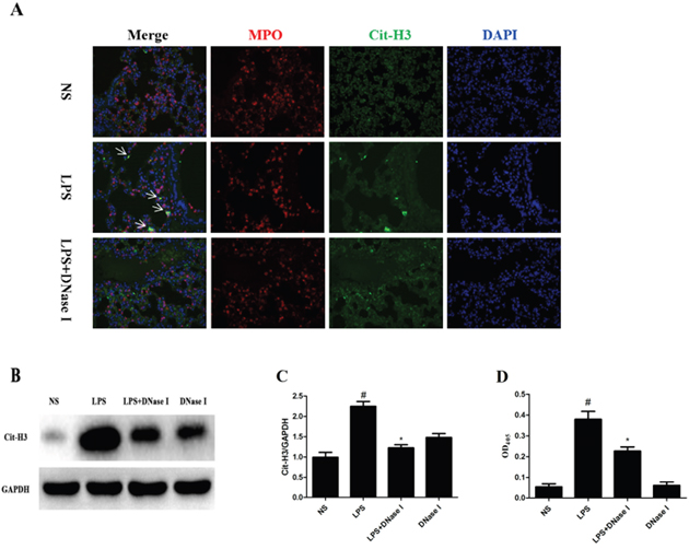 LPS-induced NET formation was degraded by aerosolized DNase I in mice.
