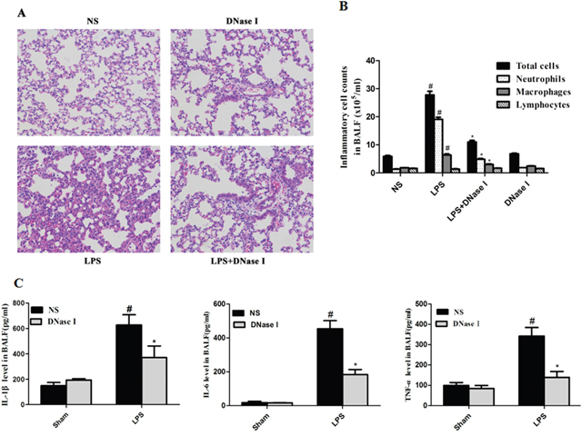 Degradation of NETs by aerosolized DNase I decreased LPS-induced airway inflammation in mice.