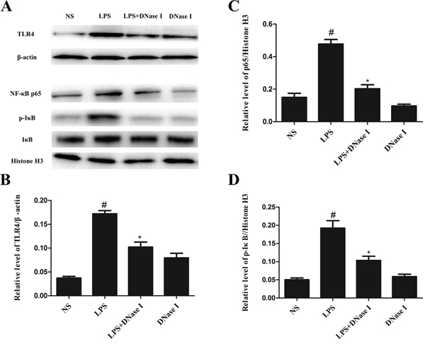 Degradation of NETs by aerosolized DNase I suppressed activation of the TLR4/NF-κB signaling pathway after LPS exposure in mice.