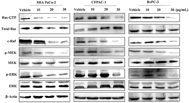 Spiclomazine attenuates Ras-GTP activity and its downstream signaling.