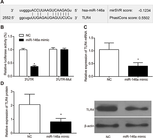 miR-146a binds to 3'UTR of TLR4 gene.