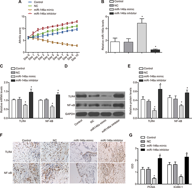 Effect of miR-146a on inflammatory response in rat RA model.