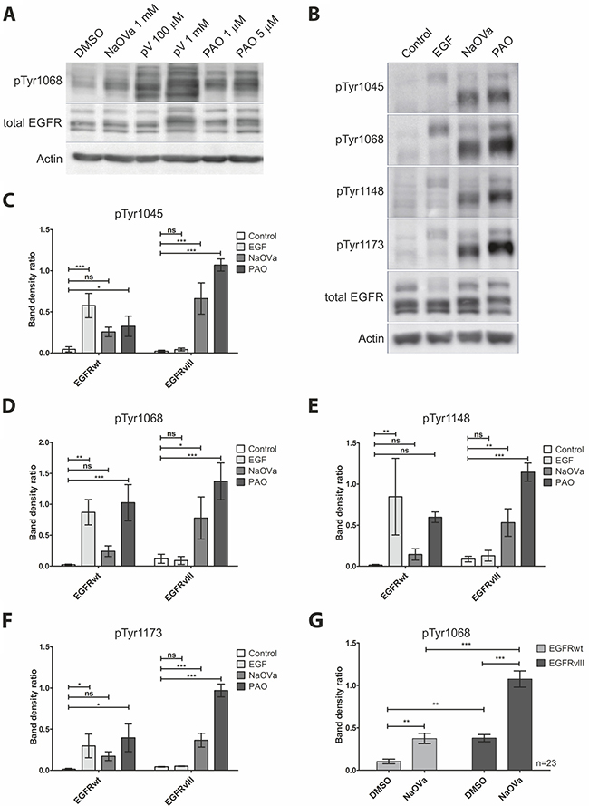 Treatment of DK-MG cells with phosphatase inhibitors results in hyperphosphorylation of EGFRwt and EGFRvIII on majority of tyrosine residues.