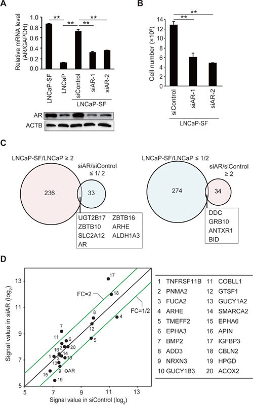 Effect of AR silencing on gene expression and growth in LNCaP-SF cells.
