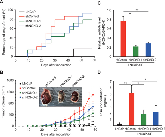 Effect of NONO silencing on LNCaP-SF tumor xenograft growth.