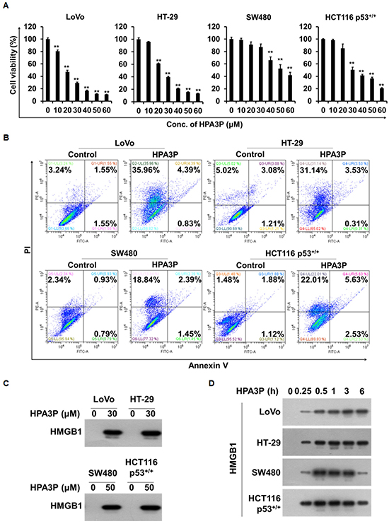 HPA3P-induced human colon cancer cell death is necrosis.