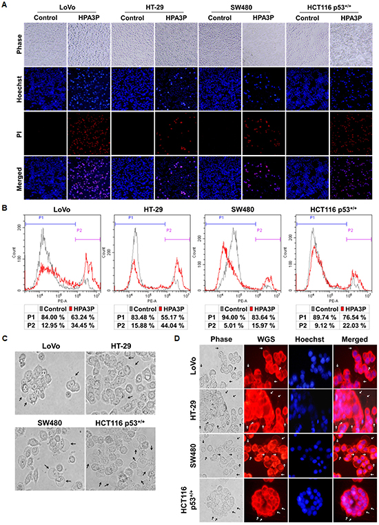 HPA3P-induced necrosis and morphological changes in human colon cancer cell lines.