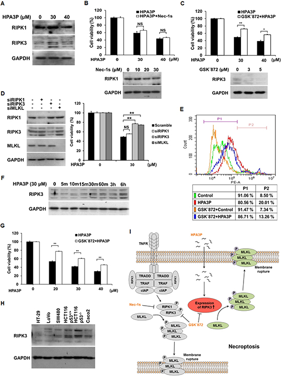 Low concentrations of HPA3P induce RIPK3-dependent necroptosis in HCT116 p53+/+ cells.