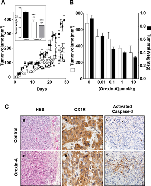 Effect of daily inoculation of orexin-A on the growth of tumors developed by xenografting human PDCA cells in nude mice - AsPC-1 cells were inoculated in the flank of nude mice at day 0.